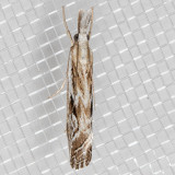 5409 Western Catoptria   (Catoptria oregonicus)