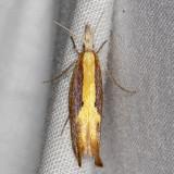 2376 (Ypsolopha dentiferella)