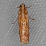 5846 Ponderosa Pine Coneworm Moth    (Dioryctria auranticella)