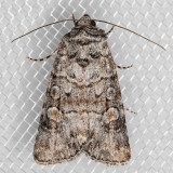 10151 (Sympistis dunbari)