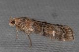 5861 (Dioryctria pentictonella)