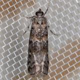 5852 Zimmerman Pine Moth  (Dioryctria zimmermani)
