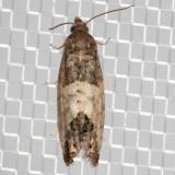 2906 Eye-spotted Bud Moth (Spilonota ocellana)