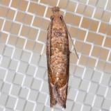 3120 (Pelochrista derelicta)
