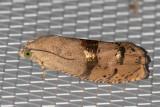 3494 Filbertworm Moth (Cydia latiferreana)