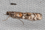 5852/5852.1   (Dioryctria zimmermani) / (Dioryctria delectella)