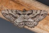 6435 Brownlined Looper (Neoalcis californiaria)