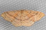 7135 Cyclophora dataria (Cyclophora dataria)
