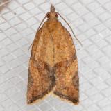 3612 Orange Tortrix (Argyrotaenia franciscana)