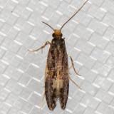 0421 Orange-headed Monopis (Monopis spilotella)