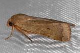 11003.2 Lesser Yellow Underwing (Noctua comes)