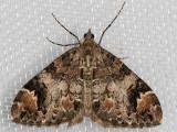 7186 (Dysstroma ochrofuscaria)