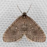 7437 Bruce Spanworm (Operophtera bruceata)