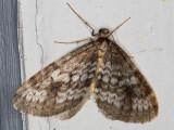 7438 (Operophtera occidentalis)