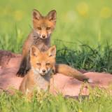 fox_2018