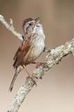swamp sparrow 22