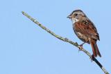 swamp sparrow 23