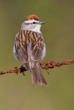 chipping_sparrow_40