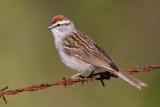 chipping_sparrow_41