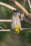 bluewinged_warbler_20