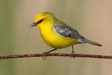 bluewinged_warbler_21