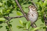 savannah_sparrow_84