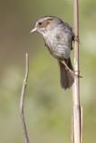 swamp_sparrow_24