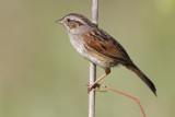 swamp_sparrow_25