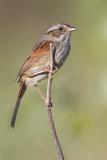 swamp_sparrow_26