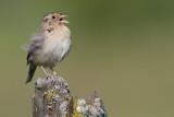 grasshopper_sparrow_35