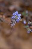 Blåsippa (Hepatica nobilis)