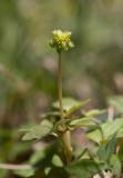 Desmeknopp (Adoxa moschatellina)
