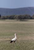 European White Stork (Ciconia ciconia)