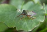 Grön bärfis (Palomena prasina)
