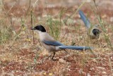 Azure-winged Magpie (Cyanopica cooki)