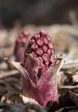 Pestskråp (Petasites hybridus)