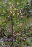 Korallrot (Corallorhiza trifida)