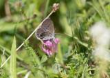 Violett blåvinge (Plebejus optilete)