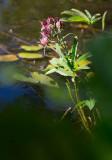 Kråkklöver (Comarum palustre)
