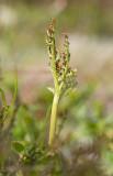 Rutlåsbräken (Botrychium matricariifolium)