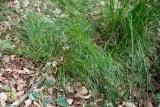 Skärmstarr (Carex remota)