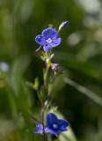 Teveronika  (Veronica chamaedrys)