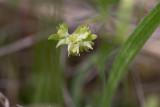 Vårklynne (Valerianella locusta)