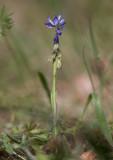 Jungfrulin (Polygala vulgaris)