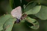 Eksnabbvinge (Neozephyrus quercus)