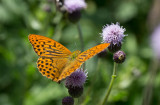 Silverstreckad pärlemorfjäril (Argynnis paphia)