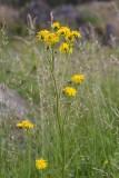 Skånefibbla (Crepis biennis)