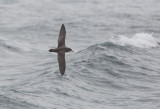 Pink-footed Shearwater (Ardenna creatopus)