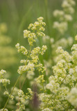 Gräddmåra (Galium mollugo subsp. erectum × verum)