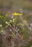 Femfingerört (Potentilla argentea)